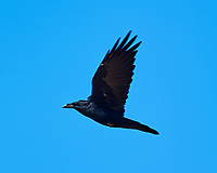 Common Raven (Corvus corax). Crystal Geyser. Green River, Utah. Image taken with a Nikon D3s camera and 80-400 mm VRII lens.