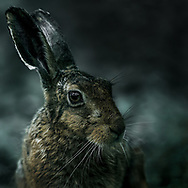 Hare in November on an Isle of Wight farm