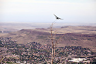 A raven takes flight from a tree on Lookout Mountain over Golden, Colorado. WATERMARKS WILL NOT APPEAR ON PRINTS OR LICENSED IMAGES.