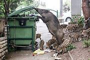 A wild boar sow and her piglets pick in a trash bin in Haifa, Israel, April 09, 2021. Several neighborhoods in the northern Israeli city are being visited by families of wild boars. Many of the animals felt safer to come out of the Carmel woods surrounding the city in search for food, as most people were confined to their homes due to covid-19 lockdowns. As Israel slowly returned to normal life, following a large scale vaccination operation, human and animal encounters became more and more common.