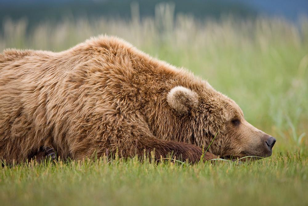USA, Alaska, Katmai National Park, Brown Bear (Ursus arctos) sleeping in meadow along Hallo Bay