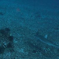 Galapogos Shark, Carcharhinus galapagensis (Snodgrass & Heller, 1905), Molokai, Hawaii
