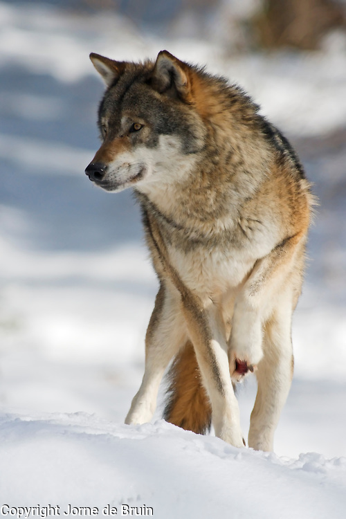 A wolf with a wounded paw  is standing in a snowy forest in the Bavarian National Forest Wildlife Park in Germany.