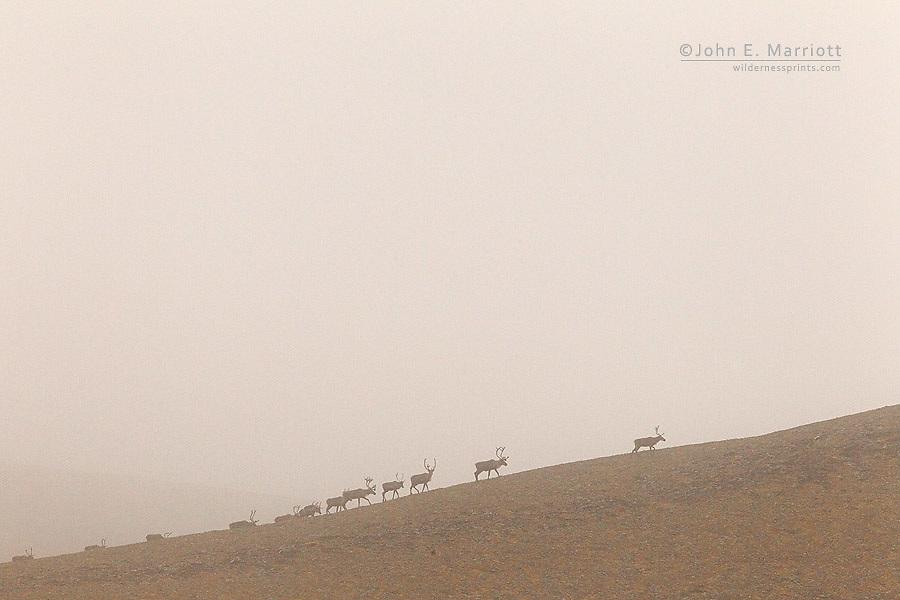 Porcupine caribou herd, northern Canada
