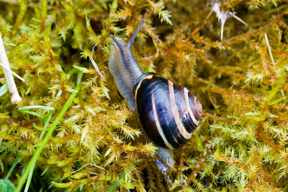 Snail on a bed of moss, Cotswolds, Oxfordshire, United Kingdom UK