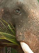 A blind bull elephant eating ferns at the Pinnawela Elephant Orphanage, Kegalle, Sri Lanka