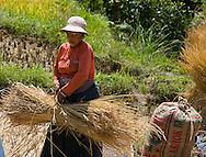 Rice harvesting, Punakha valley