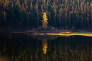 Fall Larch on Salmon Lake, Montana.