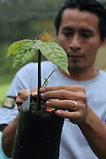 TCGA Compliance Coordinator Abner Cal checks a young cacao plant in the San Jose nursery. Toledo Cacao Growers' Association (TCGA), San Jose, Toledo, Belize. January 25, 2013.