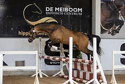 018, Deluxe<br /> Hengstenkeuring Brp- Azelhof - Lier  2021<br /> © Hippo Foto - Dirk Caremans<br /> 14/04/2021