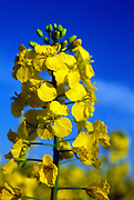 AF5CP9 Oil seed rape yellow flowers against blue sky