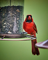Male Northern Cardinal. Image taken with a Nikon D4 camera and 600 mm f/4 VR telephoto lens
