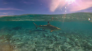 Swimming with sharks and sting rays, Bora Bora, French Polynesia, South Pacific