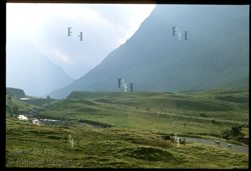 Two sheep walk along road on hazy morn near Clachaig Gulley in Glen Coe, Scotland.