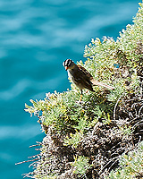 White-crowned Sparrow. Image taken with a Nikon D3s camera and 70-300 mm VR lens.