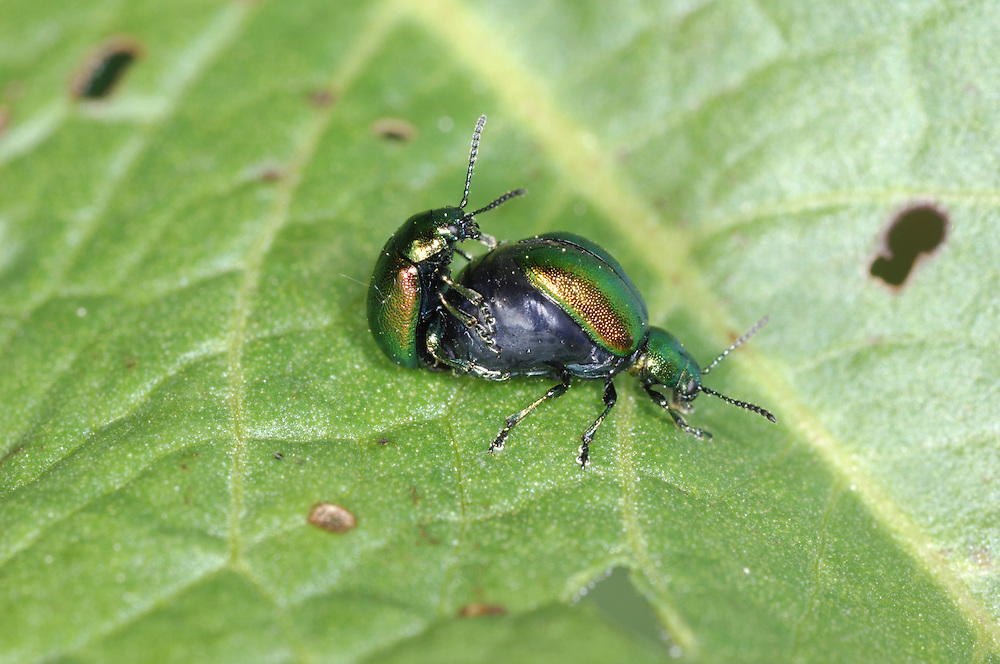 Green Dock Beetle - Gastrophysa viridula