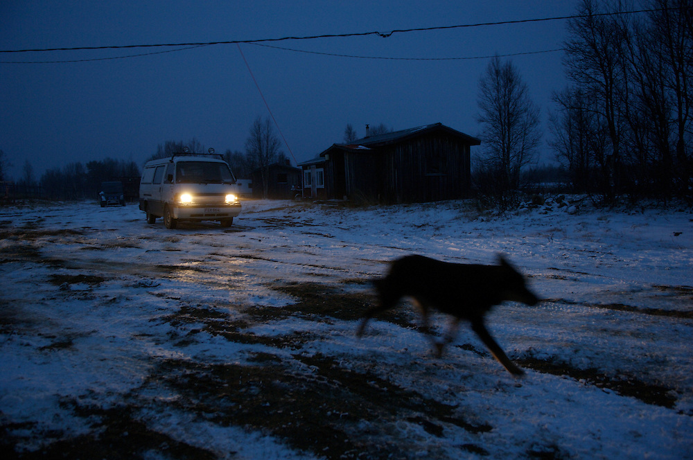 Hirvas Salmi, FINLAND. October 14, 2007- A reindeer herding dog whisks across the icy tundra after the first day of the roundup and the first snowfall of the year.