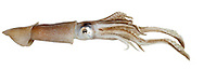 Common Squid - Loligo vulgaris