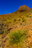 Yucca plant, Big Bend National Park, Texas USA.
