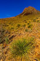 Yucca plant, Big Bend National Park, Texas USA.