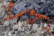 Dwarf birch, Betula nana, and Lichens, Dovrefjell National Park, Norway