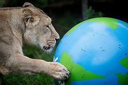 Embargoed to 0001 Thursday August 10 An Asiatic lion at ZSL London Zoo plays with a giant boomer ball as the zoo celebrates World Lion Day on August 10.