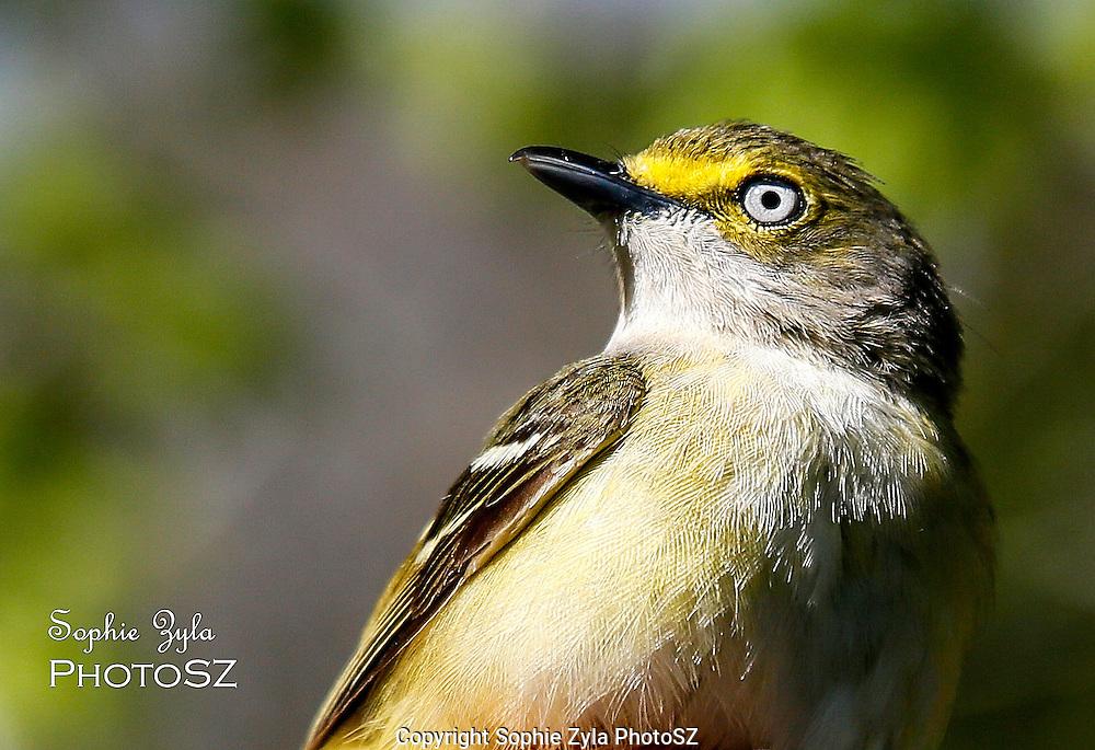 White-eyed Vireo Manomet Bird Banding