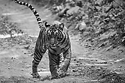 Wild Bengal tiger walking down a road,black and white, Ranthambore National Park, Rajasthan, India