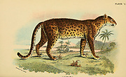 leopard (Panthera pardus Here as Felis pardus) From the book ' A handbook to the carnivora : part 1 : cats, civets, and mongooses ' by Richard Lydekker, 1849-1915 Published in 1896 in London by E. Lloyd