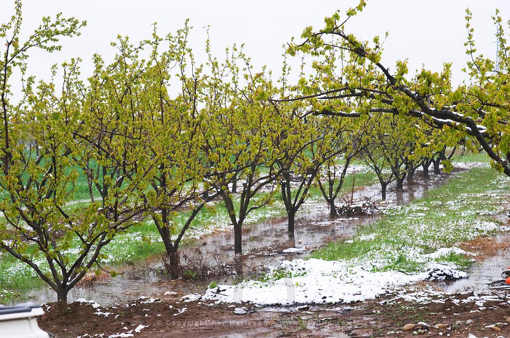 Apricot trees in spring snow.  Vincent Paris, Cornas, Ardeche, Ardèche, France, Europe
