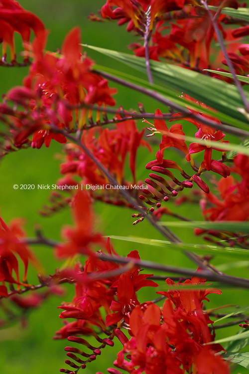 Crocosmia is a small genus of flowering plants in the iris family, Iridaceae, and is native to the grasslands of Cape Floristic Region, South Africa. It produces dense clumps of