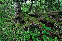 Forest, Moricsala Strict Nature Reserve, Moricsala Island, Lake Usma, Latvia