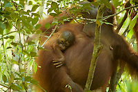 Adult female Walimah with one month old infant.<br />Close view of baby hanging on mom's side while she eats.<br /><br />Bornean Orangutan <br />Wurmbii Sub-species<br />(Pongo pygmaeus wurmbii)<br /><br />Gunung Palung Orangutan Project<br />Cabang Panti Research Station<br />Gunung Palung National Park<br />West Kalimantan Province<br />Island of Borneo<br />Indonesia