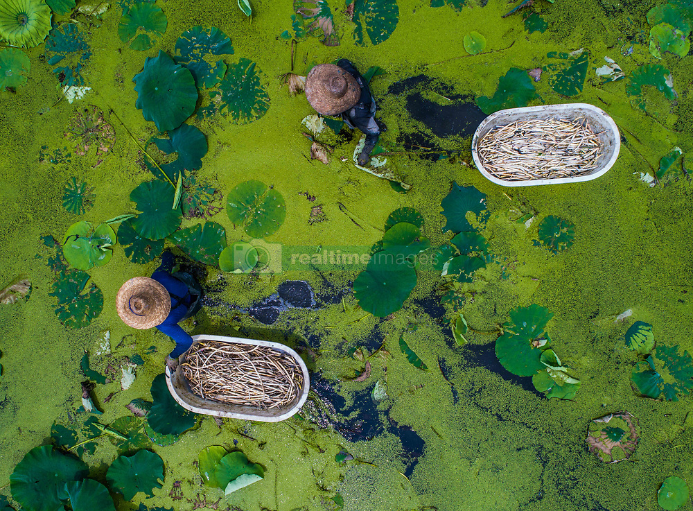 June 27, 2017 - Huzhou, Zhejiang, China -  Farmers harvest the lotus root in a pond at Dongsheng Village of Donglin Township, east China's Zhejiang Province. In recent years, the ecological agriculture in the village has shifted the traditional way of farming. Business such as lotus growing has improved the income for local farmers. (Credit Image: © Xu Yu/Xinhua via ZUMA Wire)