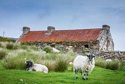 Blackface sheep in front of old building with red roof, Achill Island, County Mayo, Ireland