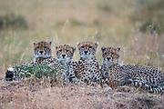 A mother and three cheetah cubs (Acinonyx jubatus) laying together in the Masai Mara, Kenya