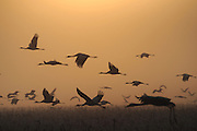 Common crane (Grus grus) Silhouetted at dawn. Large migratory crane species that lives in wet meadows and marshland. It has a wingspan of between 2 and 2.5 metres. It spends the summer in northeastern Europe and western Asia, and overwinters in north Africa. It feeds on vegetation, insects, frogs and snakes. Photographed in the Hula Valley, Israel, in January