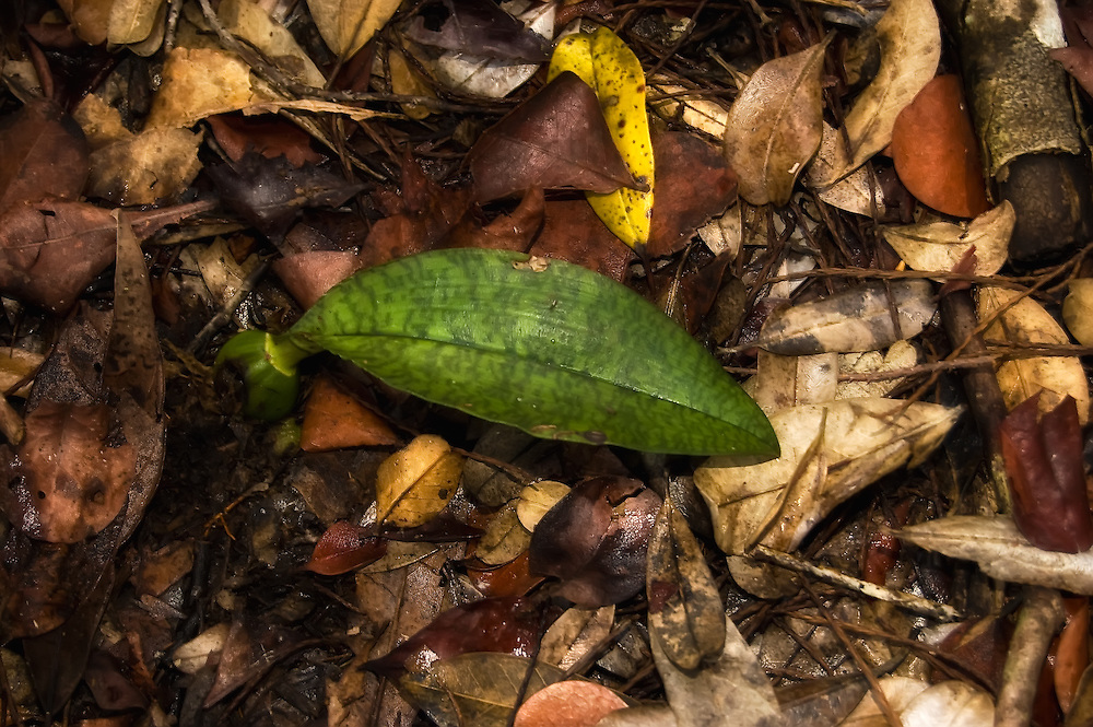The unmistakable variegated leaf of the African spotted orchid. The underground pseudobulb is partially exposed for this shot.