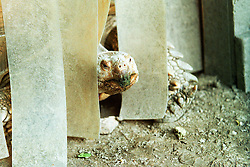 10 June 2001: Miller Park Zoo<br /> Galapagos turtle<br /> Archive slide, negative and print scans.