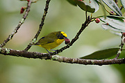 Thick-billed Euphonia (Euphonia laniirostris) Juvenile<br /> Mindo<br /> Cloud Forest<br /> West slope of Andes<br /> ECUADOR.  South America<br /> HABITAT & RANGE: Subtropical or tropical dry forests, moist lowland forests and heavily degraded former forest. Bolivia, Brazil, Colombia, Ecuador, Panama, Peru & Venezuela