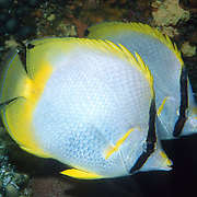Spotfin Butterflyfish flit about reef tops, often in pairs in Tropical West Atlantic; picture taken Grand Cayman.