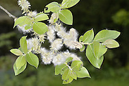 Goat Willow - Salix capraea - in fruit