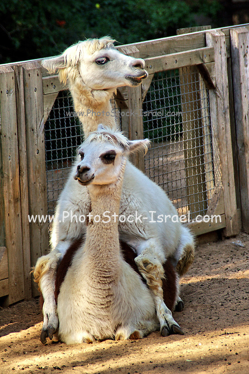 two Alpaca Lama pacos, looking in opposite directions