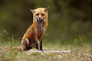01871-00520 Red fox (Vulpes vulpes) adult    IL