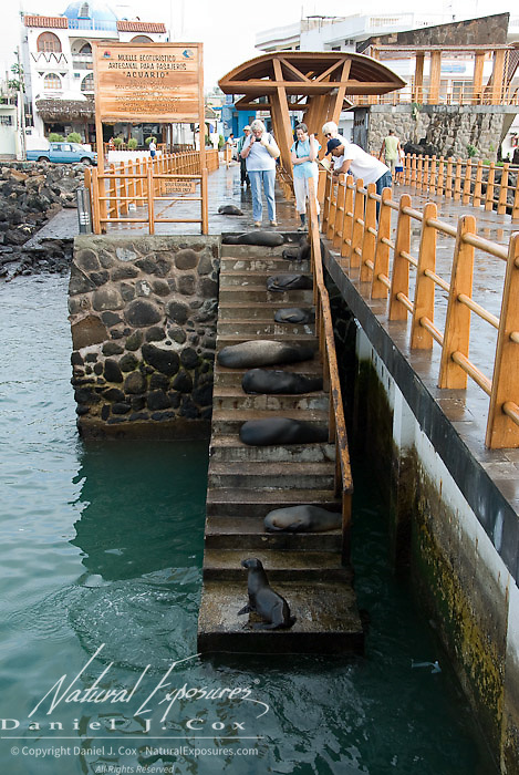 Sea lions (Zalophus californianus) on the boat launch steps in the port town of San Cristobal, part of the Galapagos Islands in Equador,