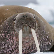 Walrus on an ice flow. Svalbard, Norway