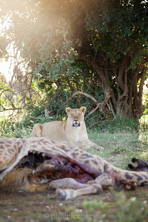 A lioness waits and protects a kill, a giraffe, from a nearby colony of vultures in Cottars Conservancy, Kenya