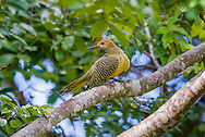 This female Fernandina's Flicker (Colaptes fernandinae) is one of the most rare woodpeckers in the world, second only to the Ivory-billed Woodpecker. Near Bermejas, Zapata Peninsula, Cuba.