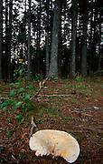 Mushroom in Abetone region.