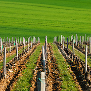 Rows of young vines in an old French vineyard on the side of at hill in the famous Sancerre wine region, an area that produced renowned white wines from Sauvignon blanc grapes. In the background is a lush, green field.